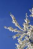 Cherryet blommar treen Royaltyfri Foto
