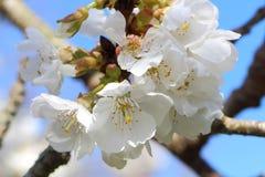 Cherryet blommar treen Fotografering för Bildbyråer