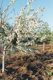 Cherryet blommar treen Körsbärsröd filial med vita blommor som blommar i tidig vår i trädgården körsbärsröd filial med blommor, t Fotografering för Bildbyråer