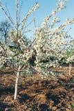 Cherryet blommar treen Körsbärsröd filial med vita blommor som blommar i tidig vår i trädgården körsbärsröd filial med blommor, t Arkivbild