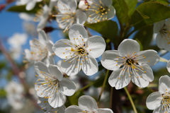 Cherryet blommar white Arkivfoto