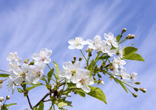 Cherryet blommar white arkivbild