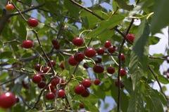 Cherryfruktträdgård Arkivbild
