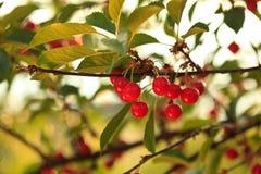 Cherryfruktträdgård Arkivbilder