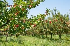 Cherryfruktträdgårdtree royaltyfria foton