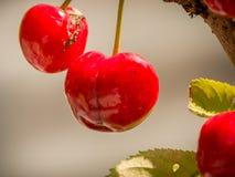 Cherrys готовое для выбирать Стоковые Фотографии RF