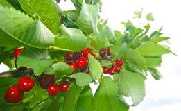 Cherrys Stock Photos