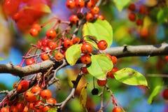 Cherrys Στοκ Εικόνα