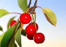 Cherrys auf einem Baum lizenzfreies stockfoto