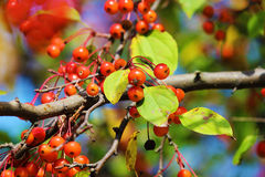 Cherrys. Fresh cherry's blossoming on a cherry tree in the summer Stock Image