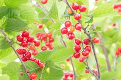 Cherrys Royalty Free Stock Photography