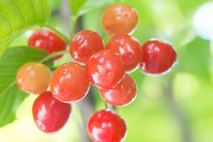 Cherrys ripe on the tree Stock Photography