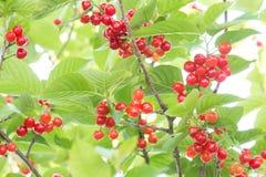 Cherrys ripe on the tree Stock Photo