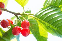 Cherrys ripe on the tree Royalty Free Stock Image