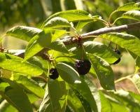 Cherrys secs sur l'arbre Images stock