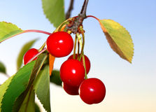 Cherrys on a Tree. Close-up of some ripe red cherrys on a tree at sun down Royalty Free Stock Photo