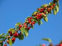Cherrysweer Royaltyfri Foto