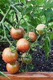 Cherrytomater Arkivbild