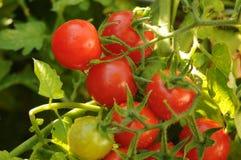 Cherrytomatskörd arkivfoton