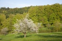 Cherrytree arkivbilder