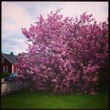 Cherrytree Foto de Stock