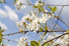 Cherrytree Royaltyfria Foton