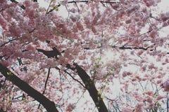 Cherrytree stock afbeeldingen