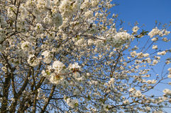 Cherrytree blooming Royalty Free Stock Image