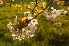 Cherrytree blooming Royalty Free Stock Images