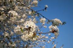 Cherrytree het bloeien Stock Afbeeldingen