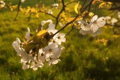 Cherrytree het bloeien Royalty-vrije Stock Afbeeldingen