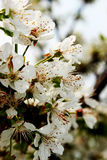 Cherrytree i fjäder Royaltyfria Bilder