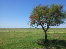 Cherrytree. Lonely tree in a field in Argentina Royalty Free Stock Photo