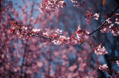 Cherrytree by Ludwig Spove Stock Photo