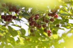 Cherrytree med mogna Cherry i trädgården Royaltyfri Foto