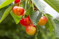 Cherrytree med mogna Cherry i trädgården Efter regnet sund mat Royaltyfria Foton