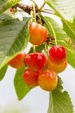 Cherrytree med mogna Cherry i trädgården Efter regnet sund mat Mogna körsbär som hänger på ett träd, för precis de fick Arkivfoto