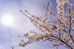 Cherrytree at springtime Royalty Free Stock Images