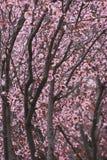 Cherrytrees Royaltyfri Fotografi