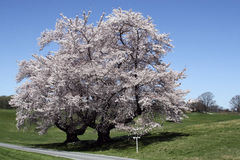 Cherrytrees Royaltyfria Bilder