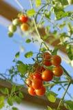 Cherryväxthustomater Arkivbilder