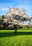Cherryy Blossom Tree Stock Photos