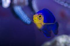 Cherubfish Foto de archivo libre de regalías