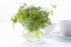 Chervil Royalty Free Stock Photos