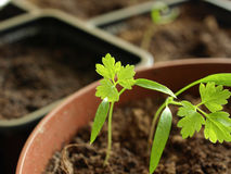 Chervil. Seedling chervil growing in the small cup Stock Images