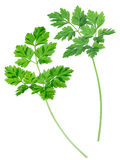 Chervil (Anthriscus cerefolium) Royalty Free Stock Photography