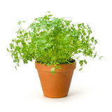Chervil in a clay pot Stock Photos