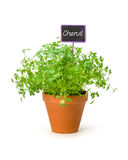 Chervil in a clay pot with a label Stock Photography