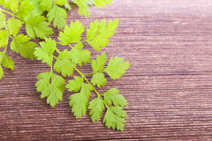 Chervil condiment  plant. Green fresh raw chervil condiment  plant on wooden background Stock Image