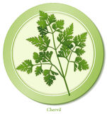 Chervil Herb. Delicate, lacy leaves with aroma and taste reminiscent of anise used as a garnish, to flavor fish, salads, soups, omelets, meat dishes, and as Stock Photos